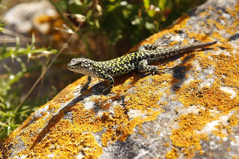 Eidechse auf Levanzo, Egadi Inseln bei Sizilien