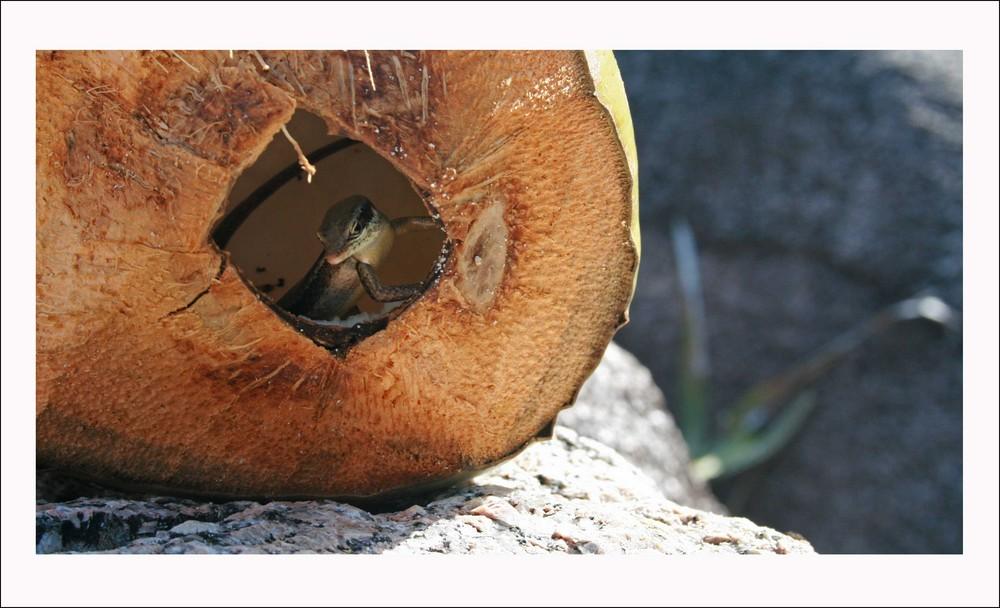 Eidechse in Kokosnuss