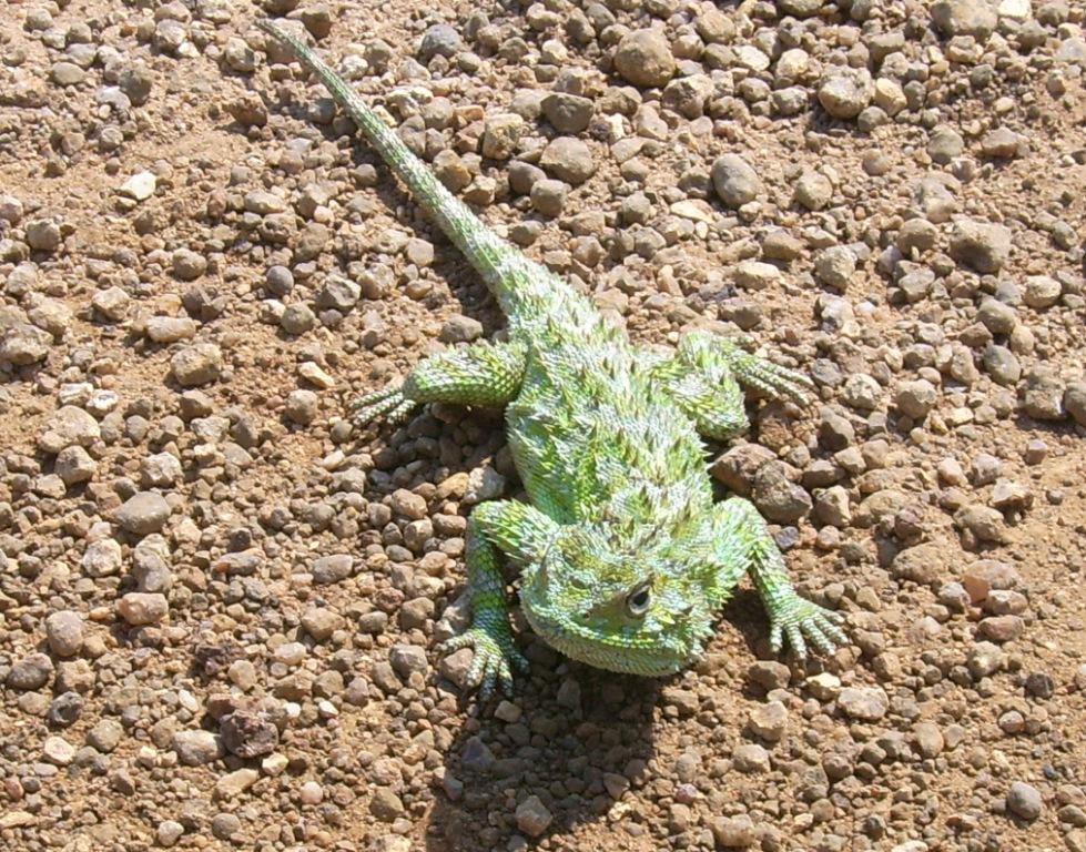 Eidechse in Südafrika