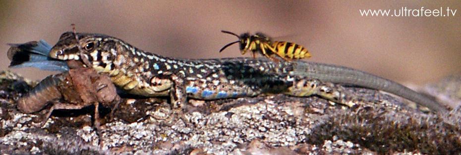 Eidechse, Insekt und Wespe