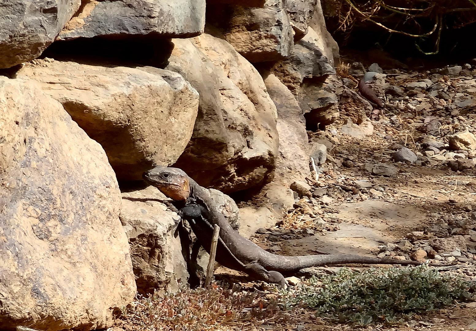 Eidechsen - sicher auch Ureinwohner