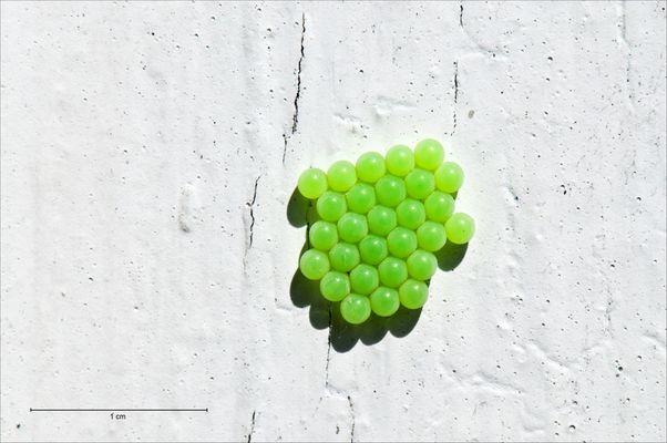 Eier der grünen Stinkwanze im Sonnenlicht