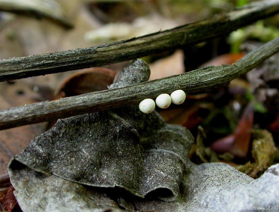 Eier des Schwarzen Apollofalters
