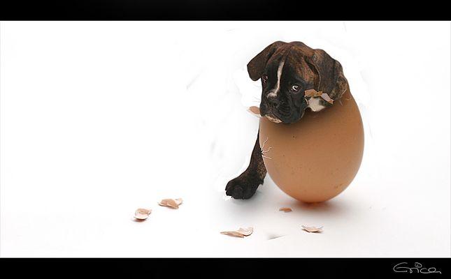 eierhund