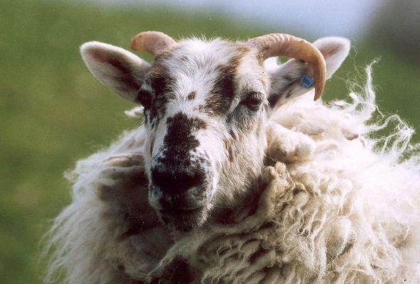 Eigene Wolle wärmt am besten