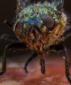 eigentlich eine ganz normale Fliege...
