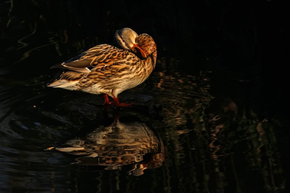 Eigentlich nichts besonderes, so eine Ente.