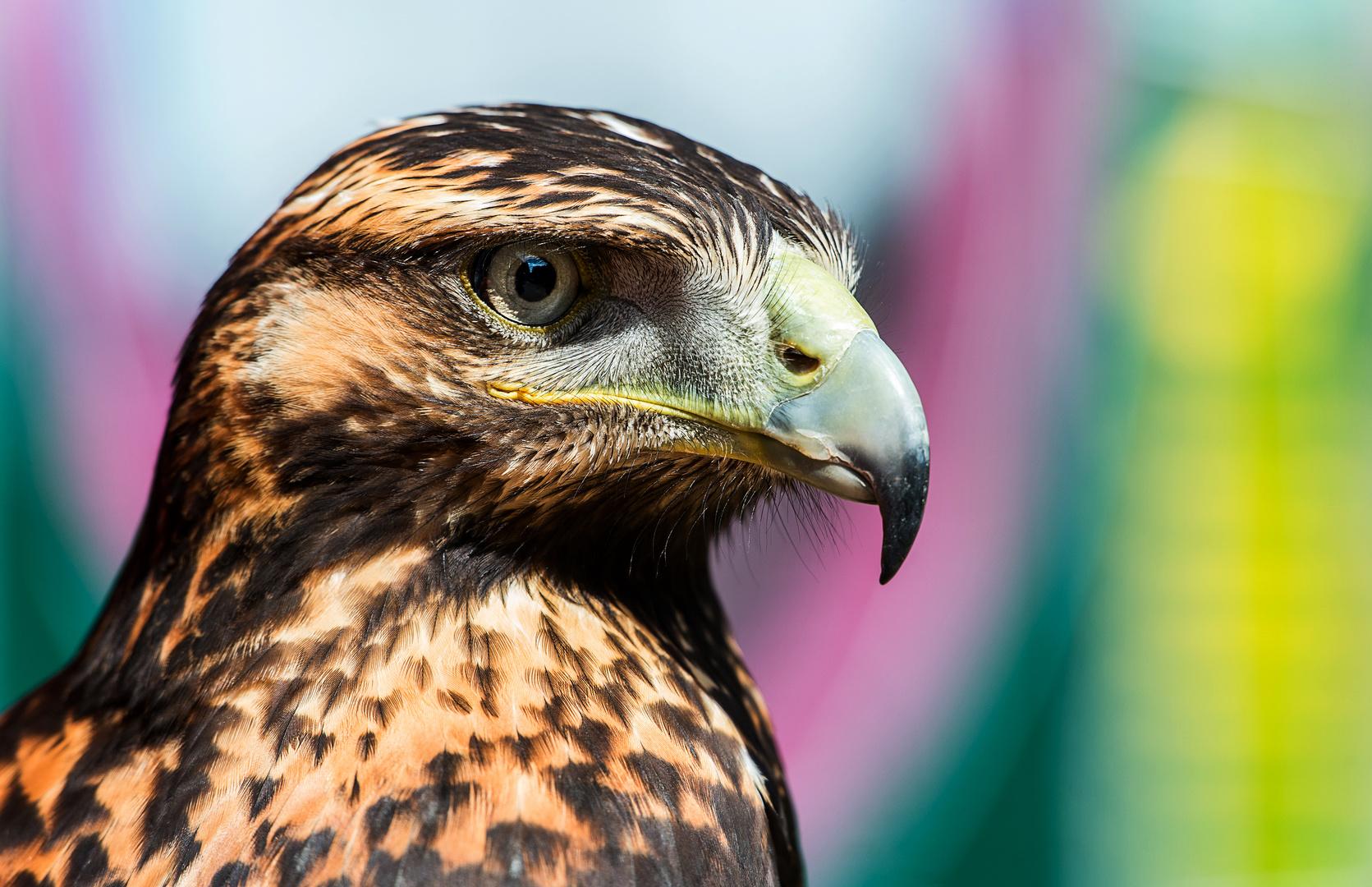 Ein Adler...