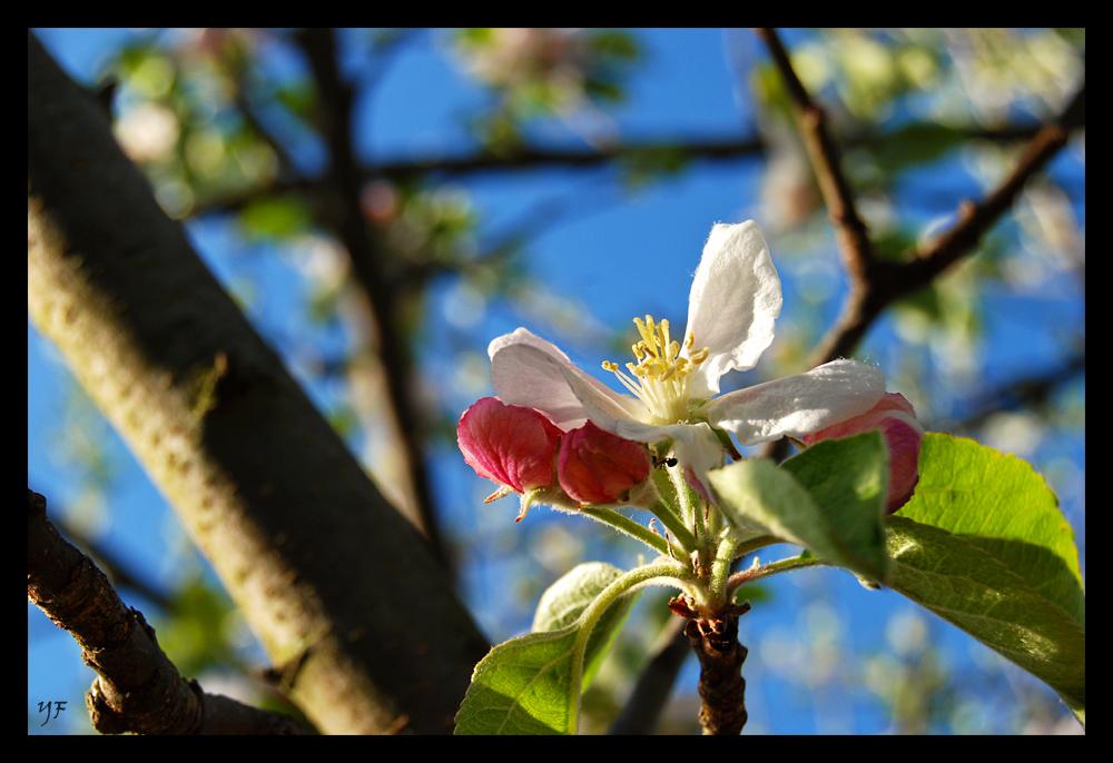 Ein Äpfelchen