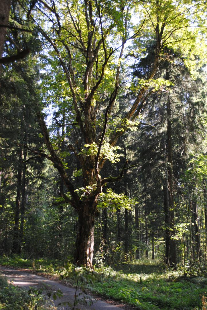 Ein Ahorn Baum