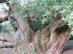 ein alter Baum neigt seine Äste gen Boden, um von dort weiter zu wachsen