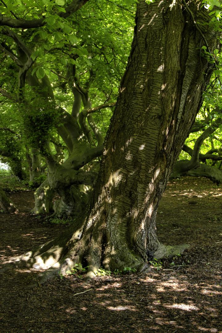 ein alter kirschbaum