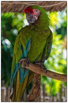 Ein alter Papagei
