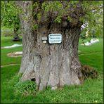 Ein altes Naturdenkmal...
