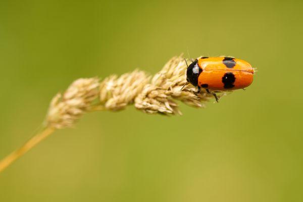 Ein Ameisensackkäfer zeigt gerne seine Farben
