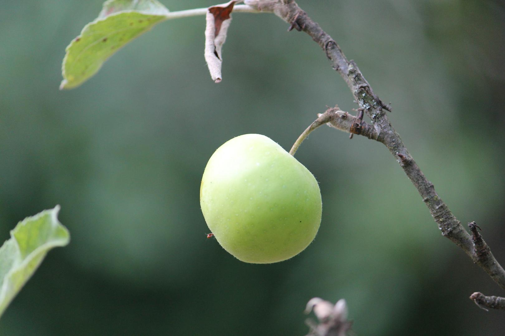Ein Apfel von 'unsrem Apfelbaum