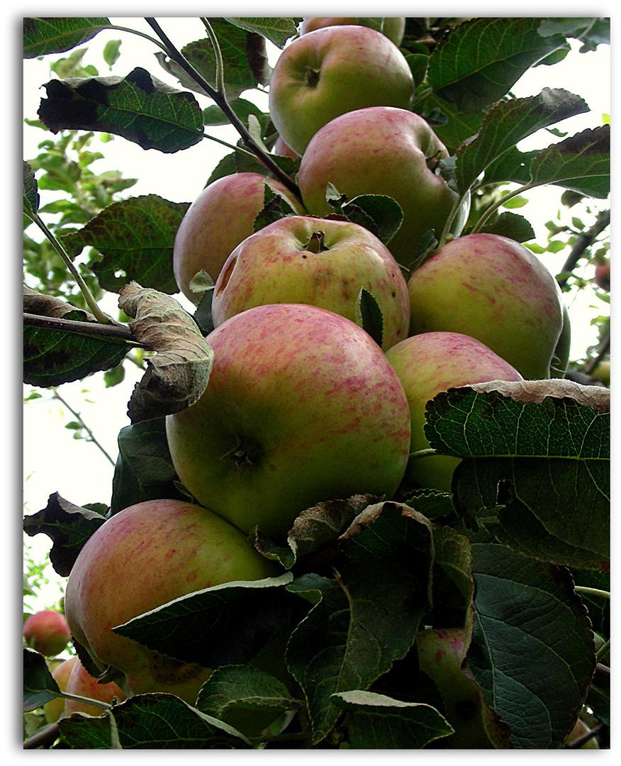 Ein Apfelzopf...