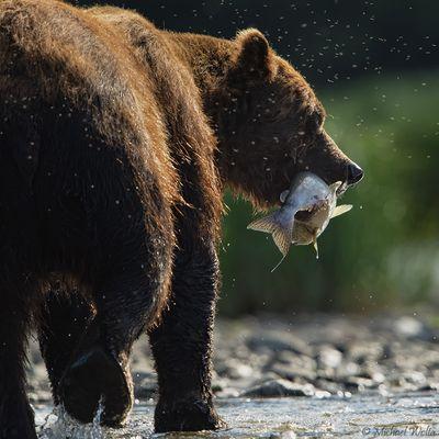 Ein Bär, ein Lachs und ein paar Mücken