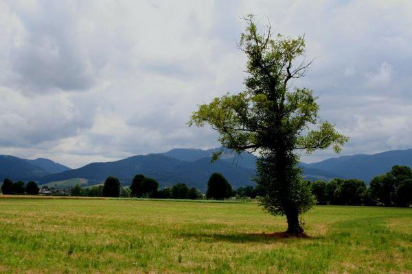ein Baum im Dreisamtal