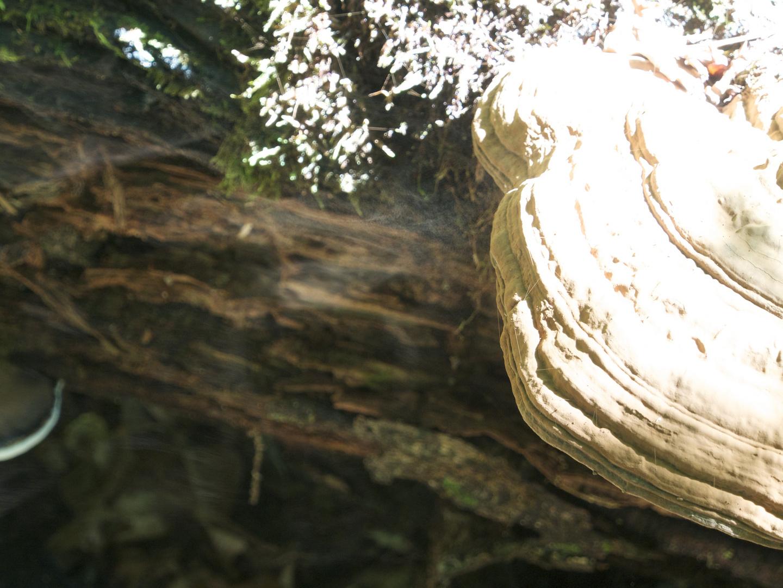 Ein Baumpilz beim Ausstoß seiner Sporen !!!