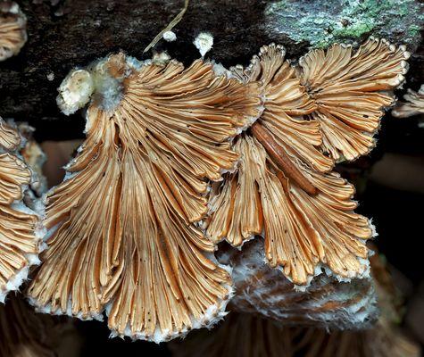 Ein Baumpilz mit interessanten Strukturen..! * - Le Schizophylle commun aux formes dynamiques...