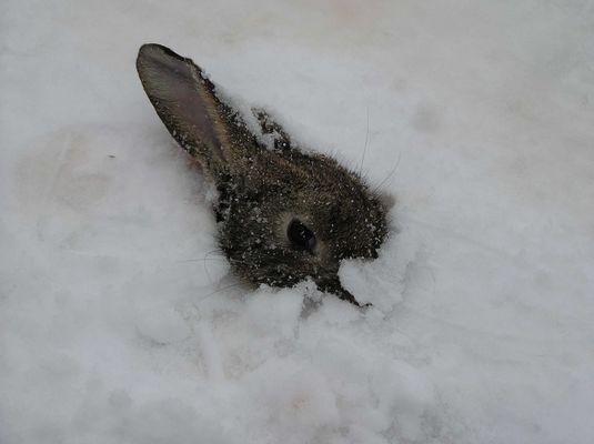 Ein Berliner Kaninchen - Tod im Schnee