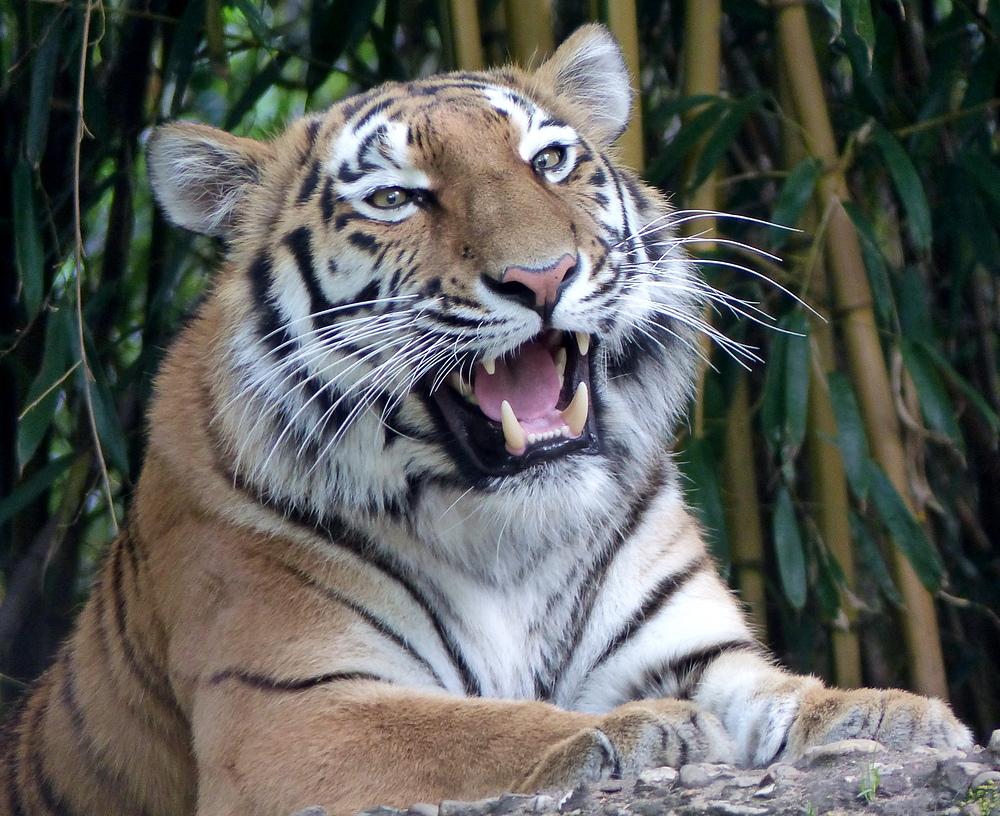 Ein Besuch im Duisburger ZOO ( Sibirischer Tiger )