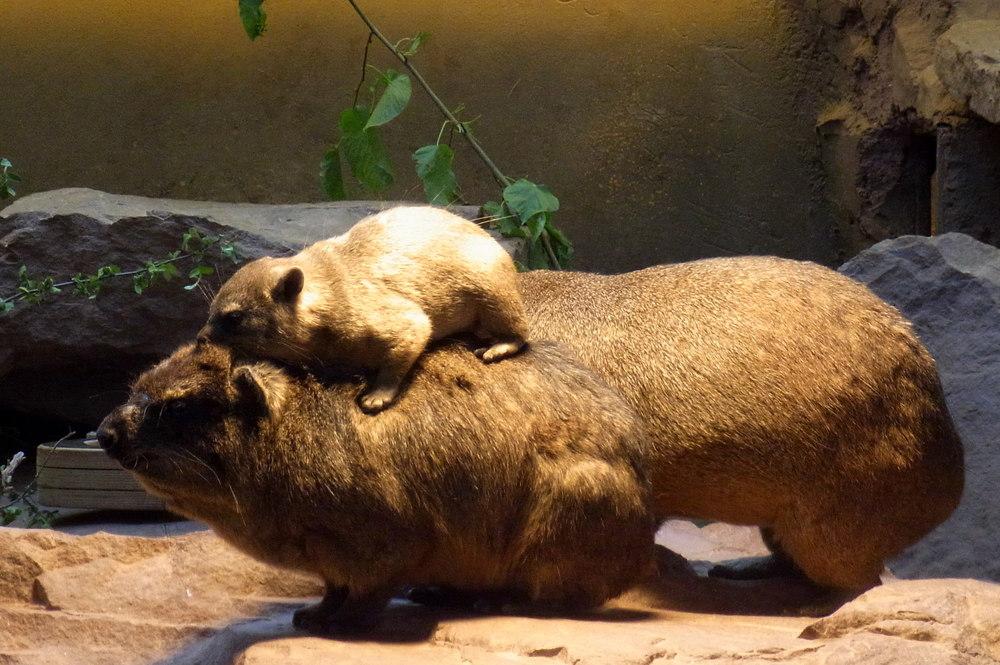 Ein Besuch im Zoo - Klippschliefer