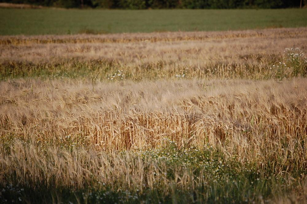 Ein Bett im Getreidefeld....
