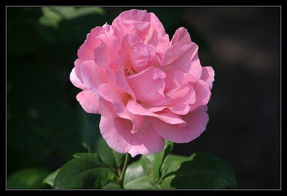 Ein bisschen Rosa.