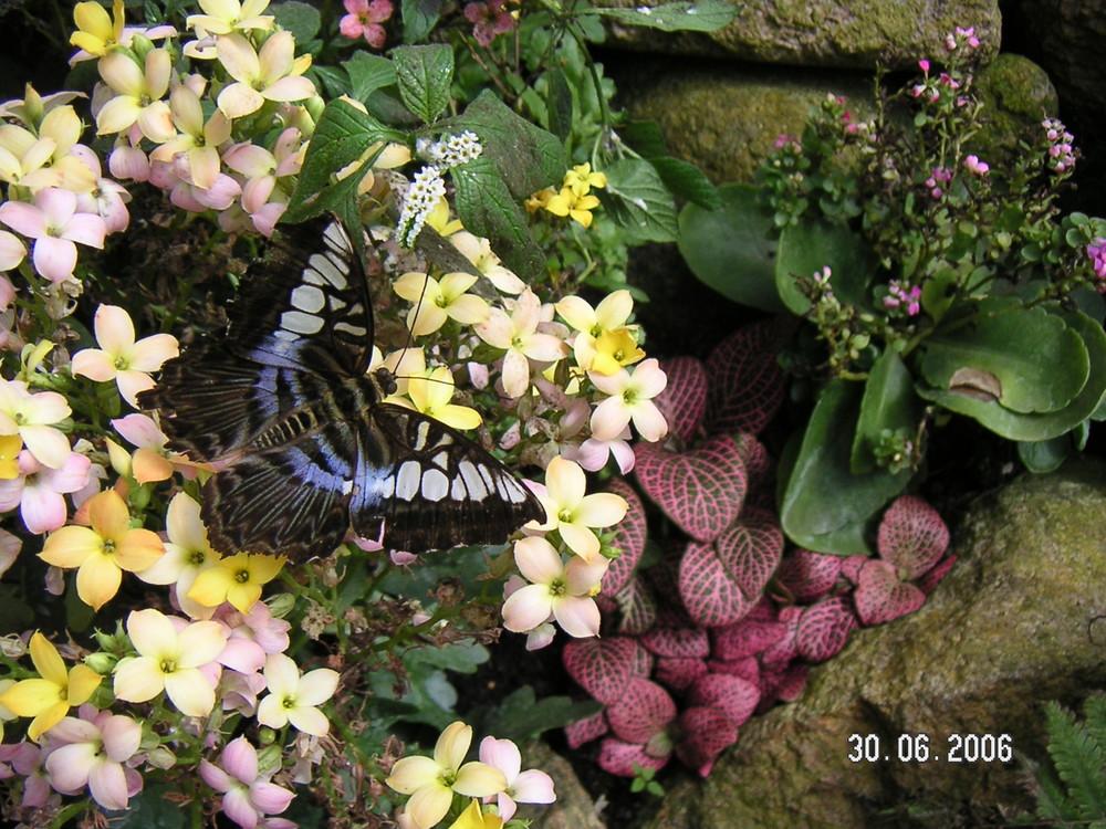 Ein blauer Schmetterling zur Pause auf einer Blüte
