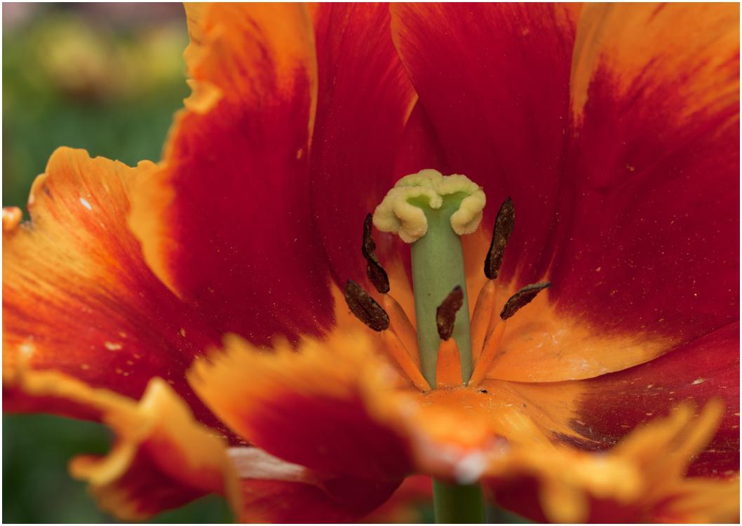 ein Blick in die Tulpe
