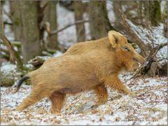 Ein blondes Wildschwein