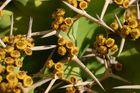 Ein blühender Kaktus auf Gran Ganaria