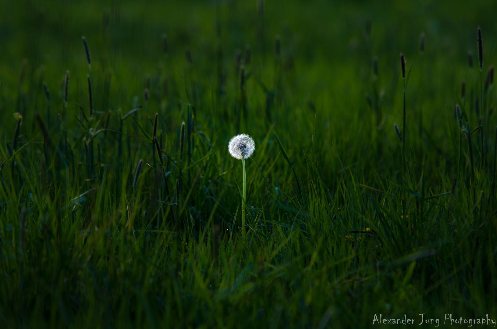 Ein Blümchen wächst im Grase ganz still und stumm...