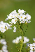 Ein Blümchen Wiesenschaumkraut  von der Frühlingswiese
