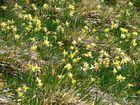 Ein Blütenmeer von wilden Narzissen im Deutsch-Belgischen Grenzgebiet