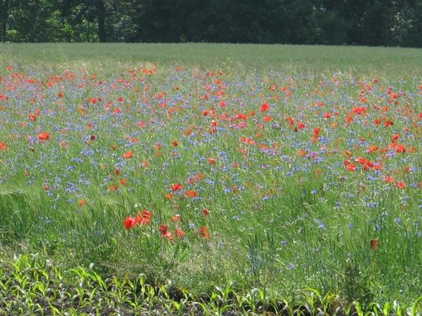 ein Blumenfeld so weit das Auge reicht