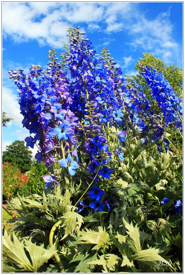 ein Blumengruss in Ritterspornblau