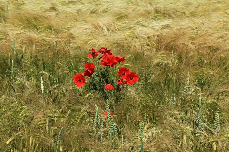 Ein Blumenstrauß im Weizenfeld...