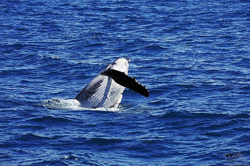 Ein Buckelwal beim Spielen