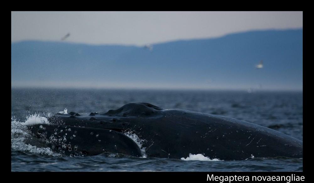 Ein Buckelwal