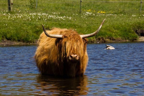 Ein Bulle am baden auf Langeoog