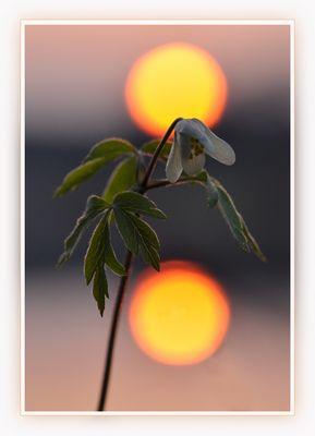 ein Buschwindröschen im Sonnenuntergang 1