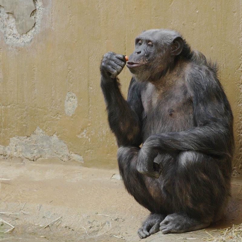 Ein Chimpanse