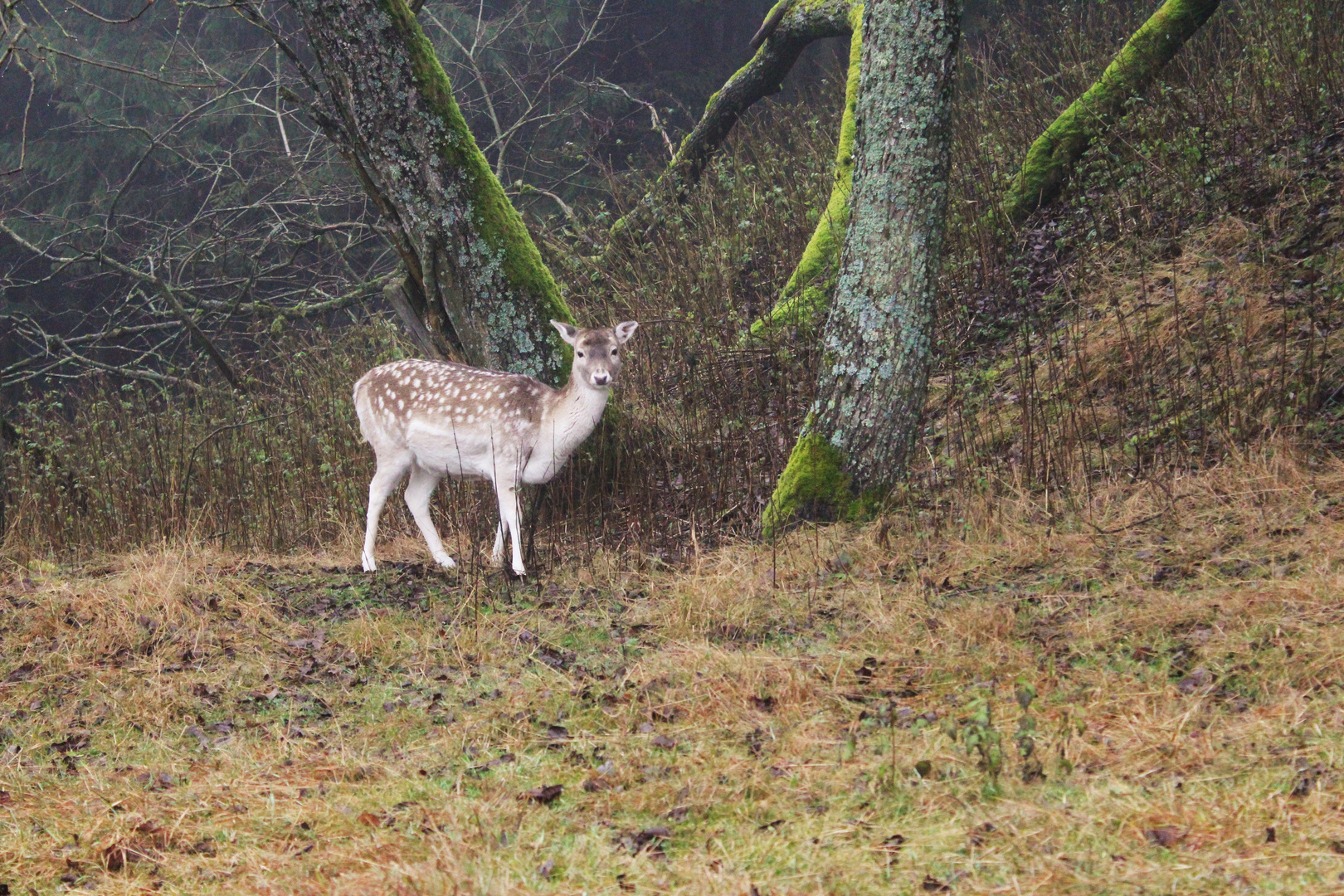 Ein Damwildlein steht im Walde.....