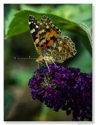 Ein Distelfalter am Schmetterlingsstrauch