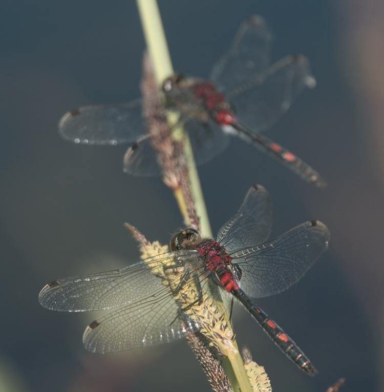 Ein Duo der Kleinen Moosjungfer (Leucorrhinia dubia)...