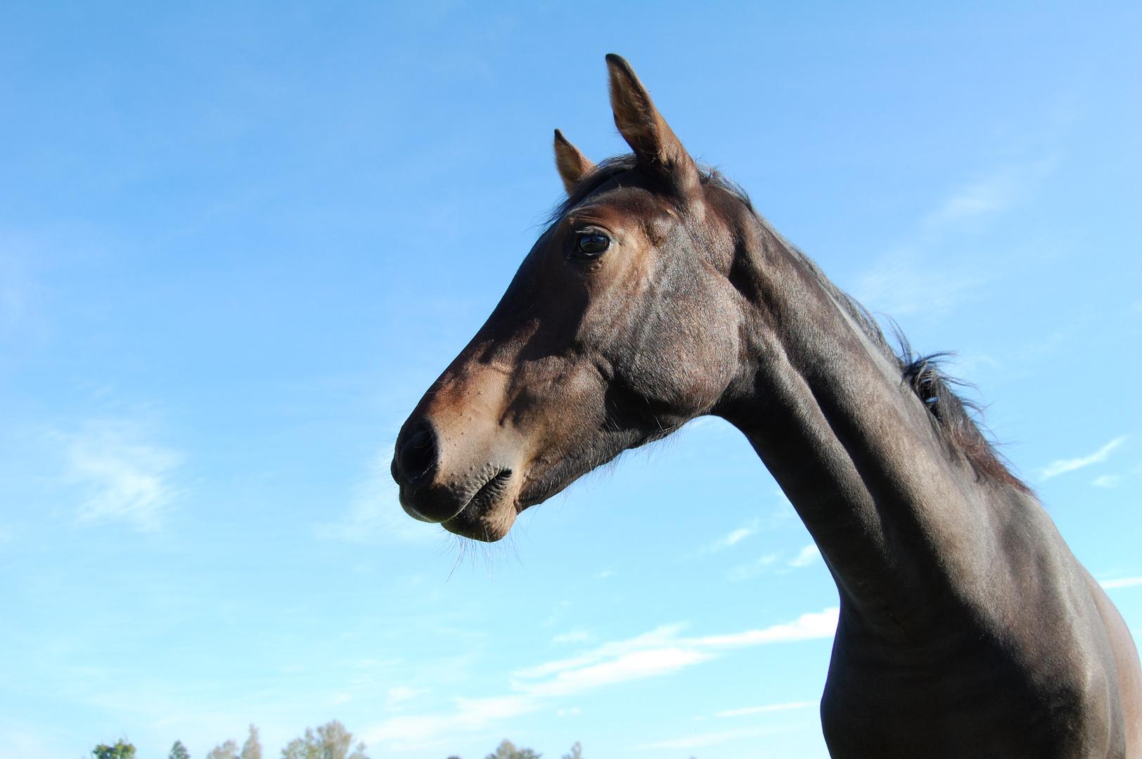 Ein edles Pferd