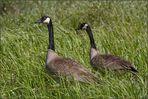 Ein Ehepaar Kanadagänse im hohen Gras